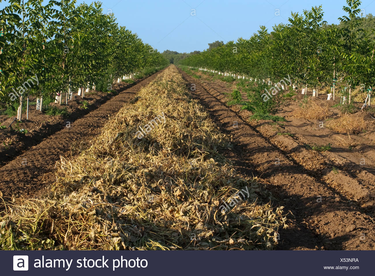 Kidney beans, cut and windrowed for drying before harvest, grown between rows of newly planted walnut trees / California, USA. - Stock Image