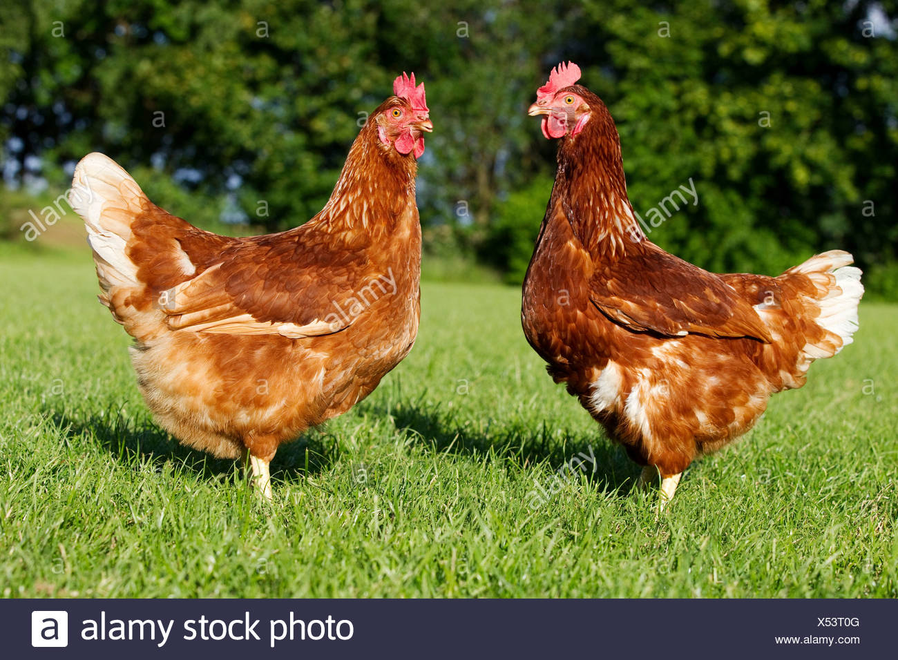 Two hens on grass Stock Photo