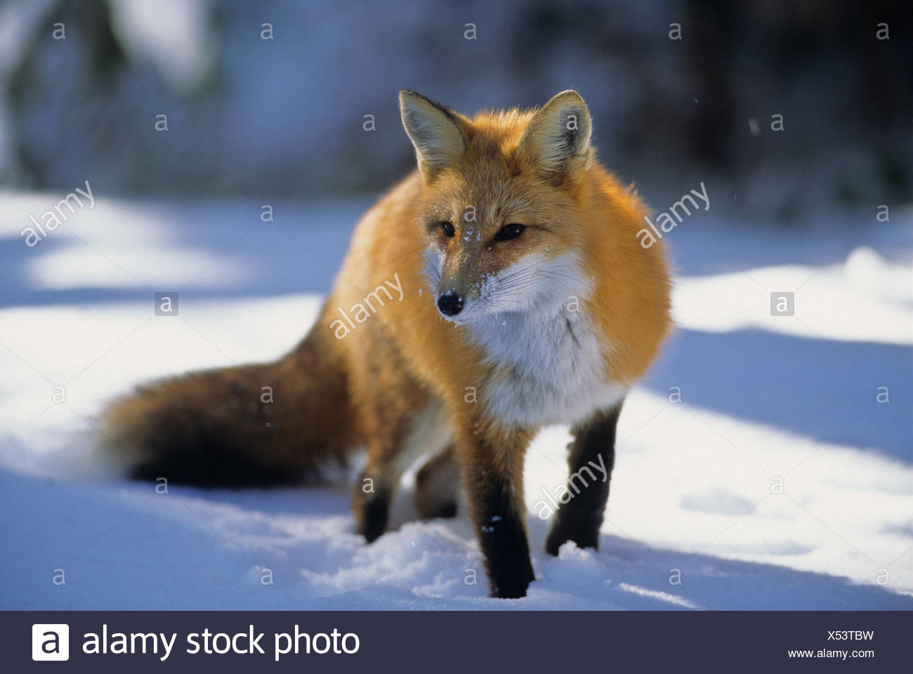 Red Fox (Vulpes vulpes) Adult. Winter diet consists of mice, birds, rabbits & squirrels.   Algonquin Provincial Park, Ontario, - Stock Image