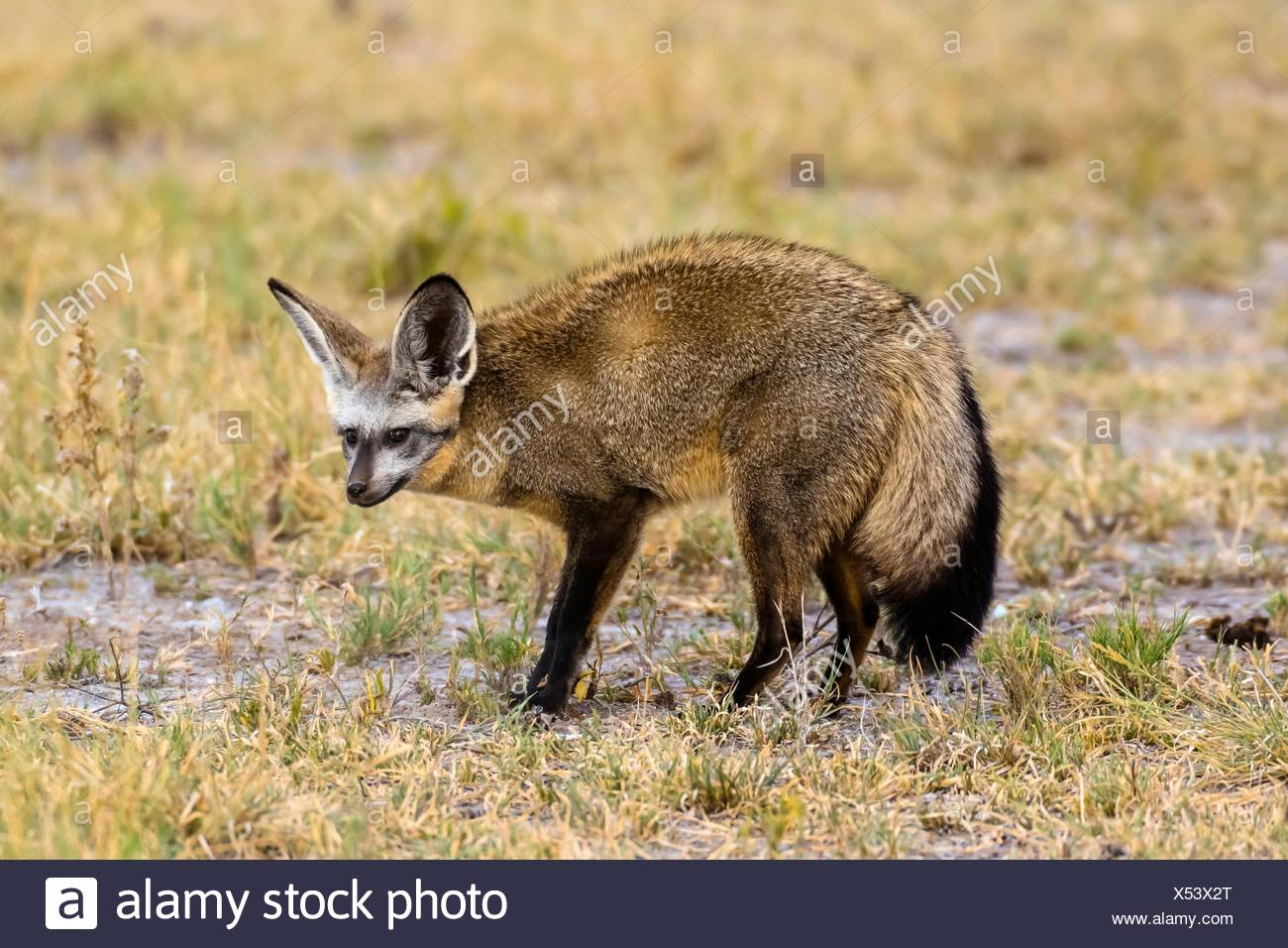 A bat-eared fox, Nxai Pan National Park, Botswana. It large ears are used for thermoregulation, a means of cooling the body. - Stock Image