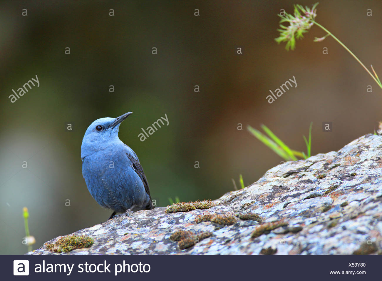 blue rock thrush (Monticola solitarius), male sitting on a rock, Greece, Lesbos - Stock Image