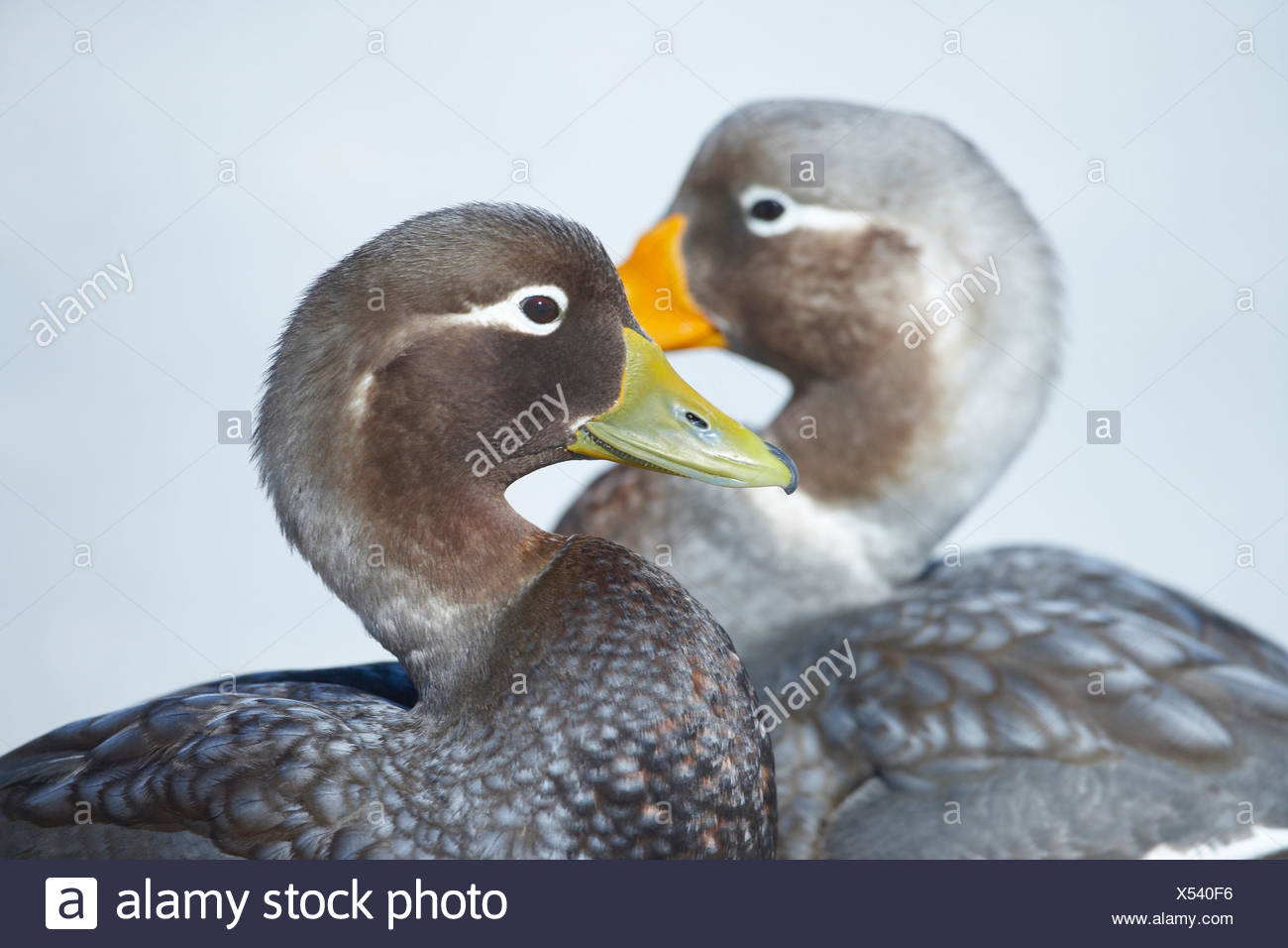 Steamer duck (Tachyeres brachypterus) pair, Falkland Islands - Stock Image