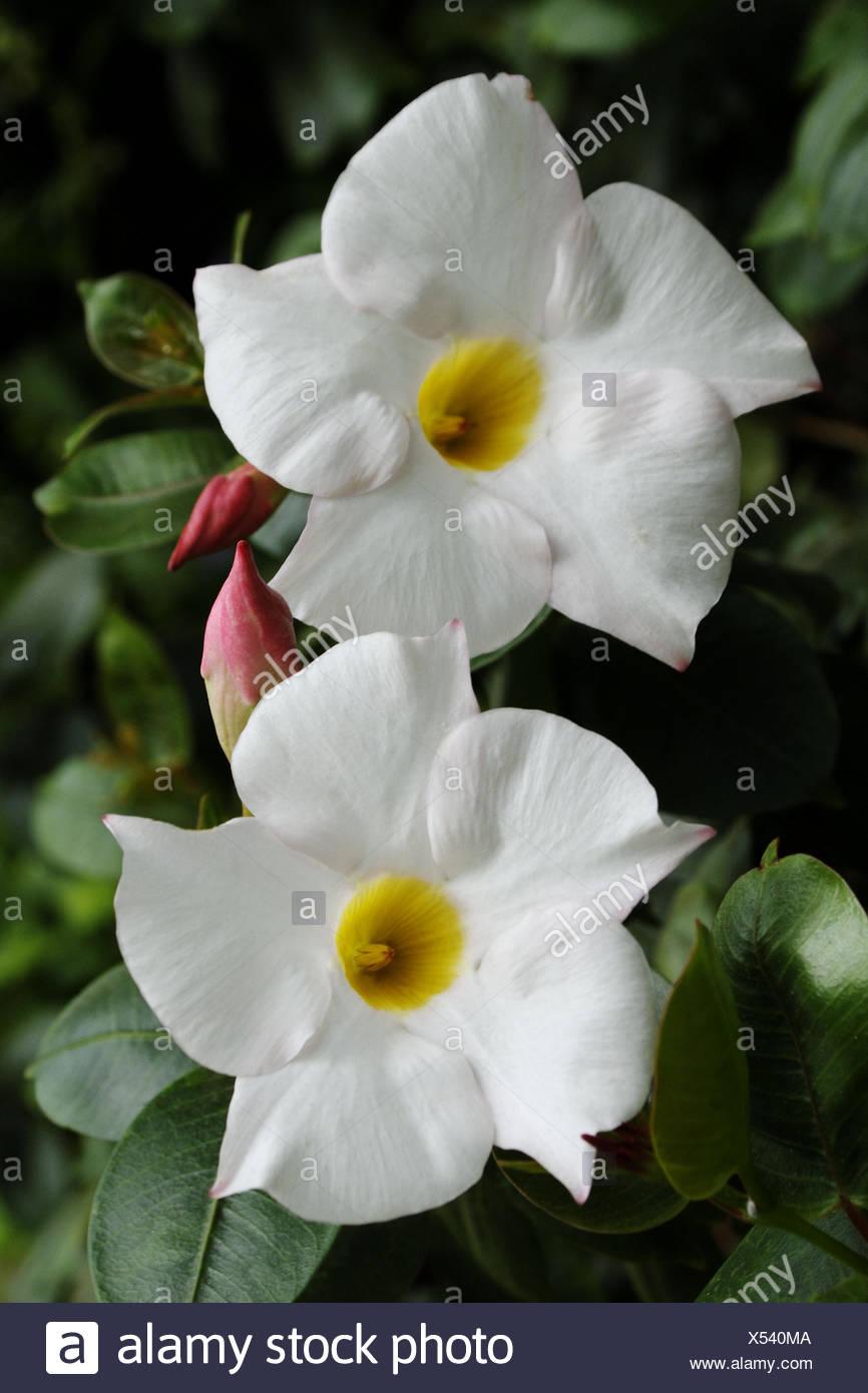 Mandavilla vine gardenia family white flowers with yellow centers mandavilla vine gardenia family white flowers with yellow centers red buds mightylinksfo