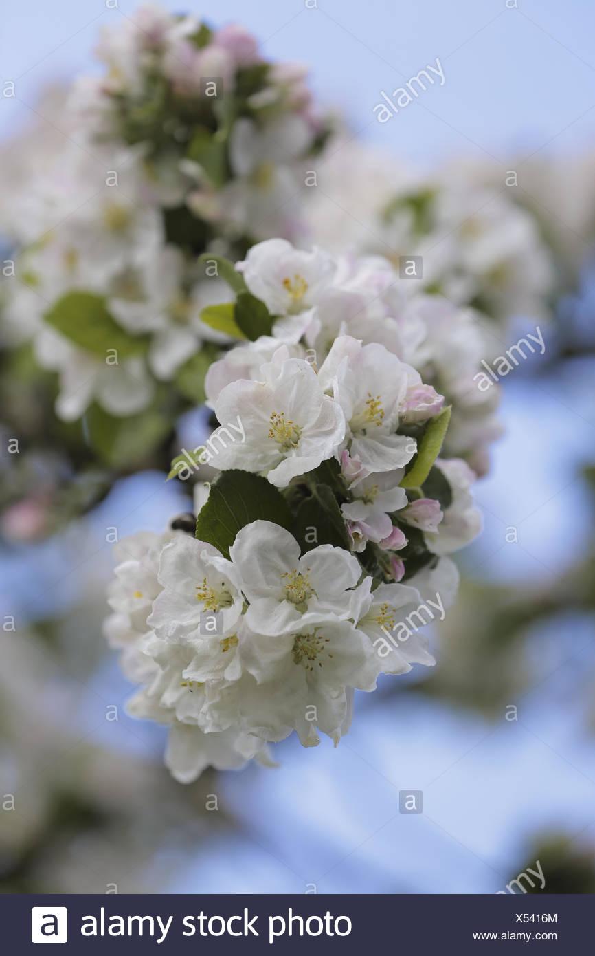 apple tree abloom Stock Photo