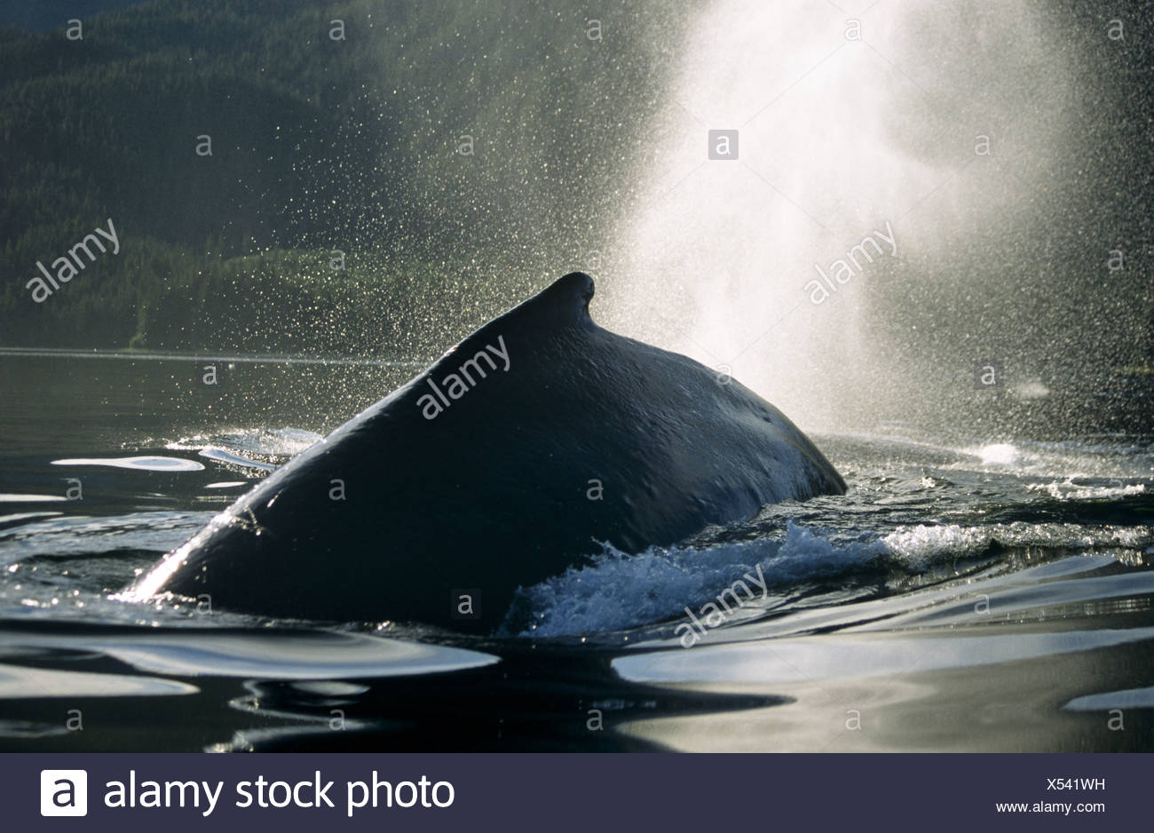 Humpback Whale surfacing and blowing, Tenakee Inlet, Southeast Alaska - Stock Image