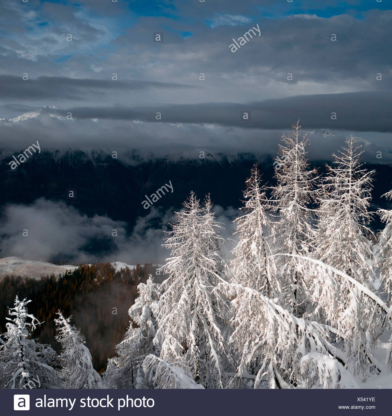 Severe contrasts between a recent snow covered larchs and the dark bottom of and alpine valley, Valtellina, Italy - Stock Image