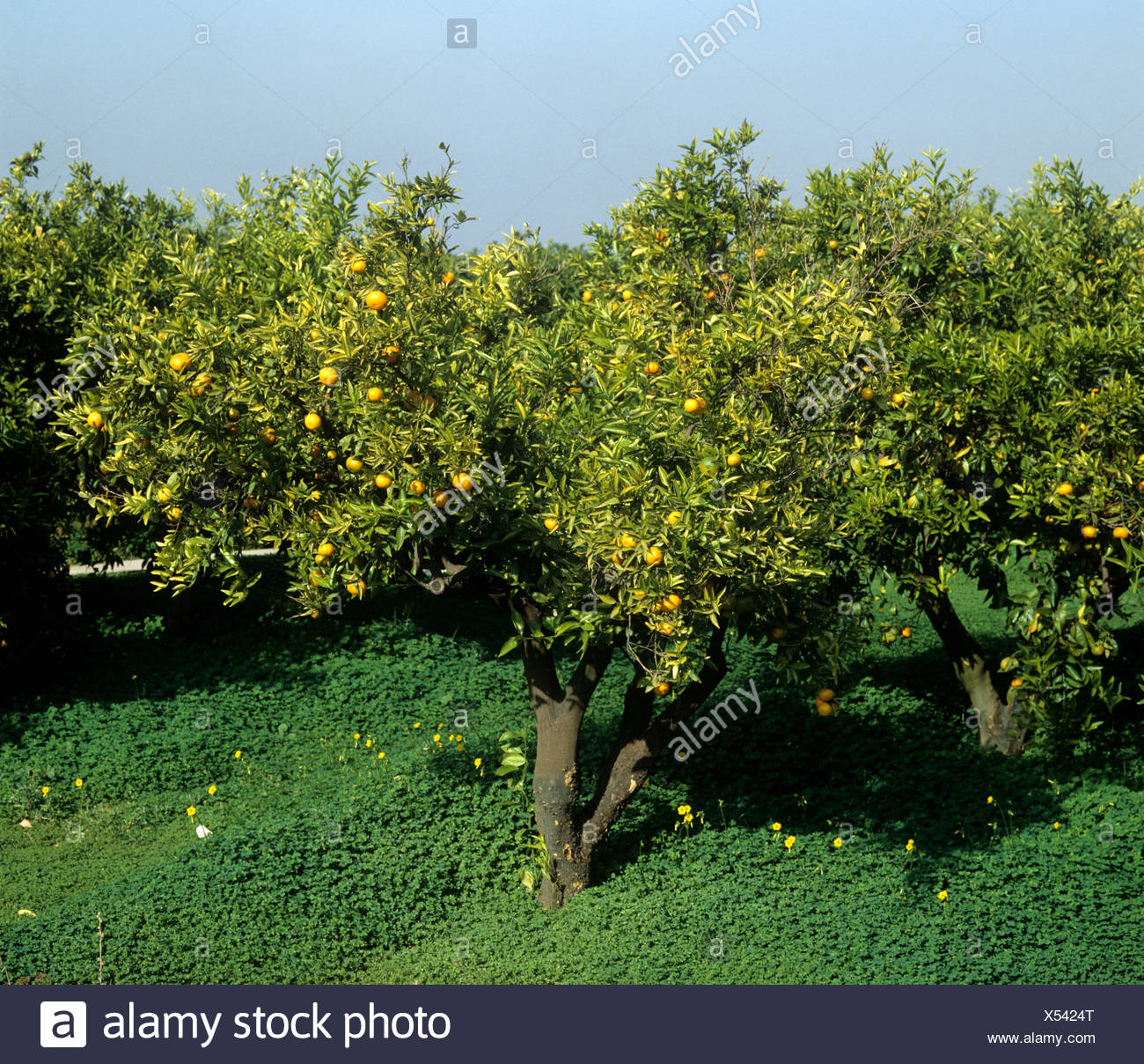 Scaly bark Citrus psorosis virus infection of a clementine causing decline and death Spain - Stock Image
