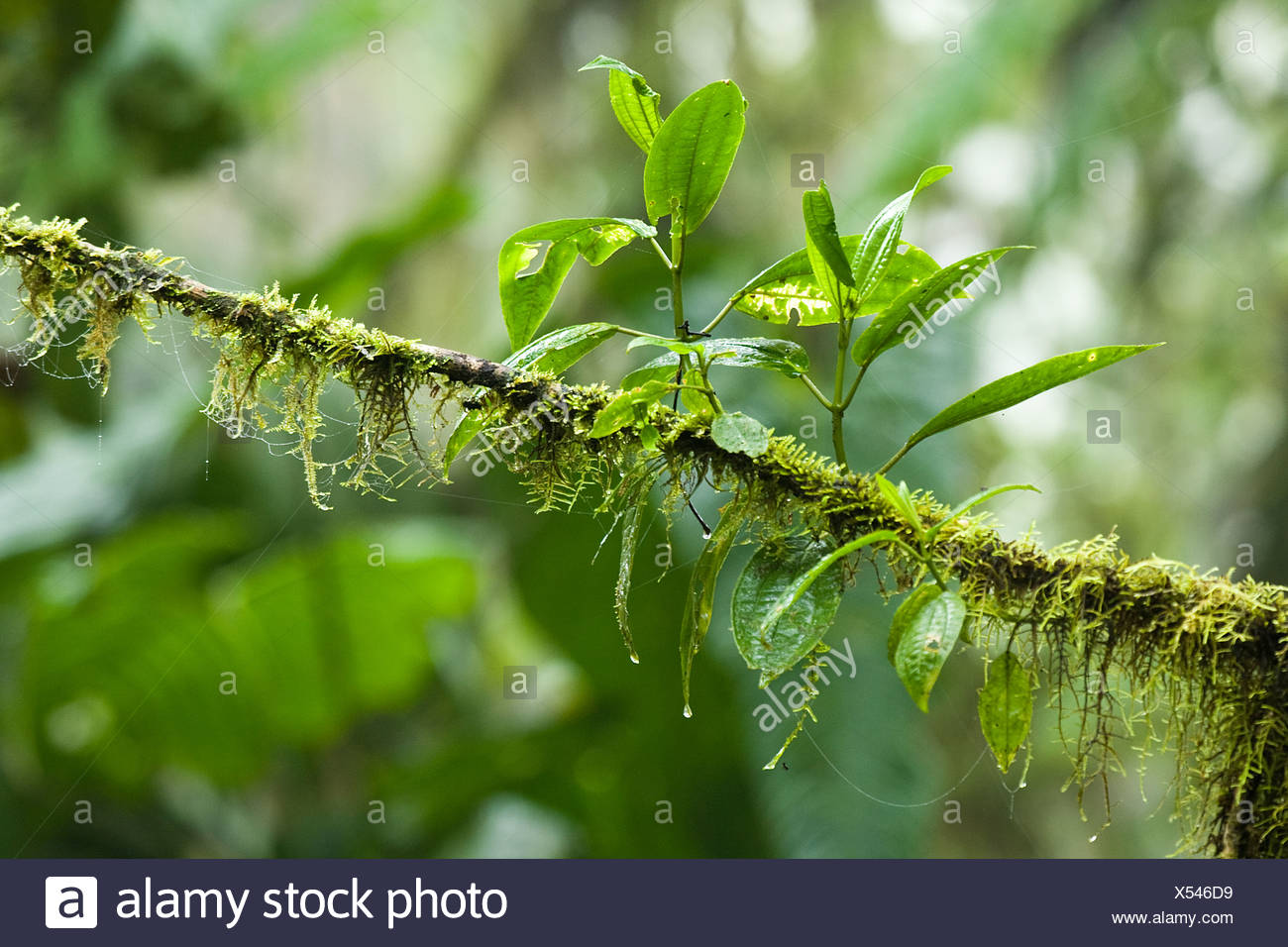 Fresh leaves growing on branch - Stock Image