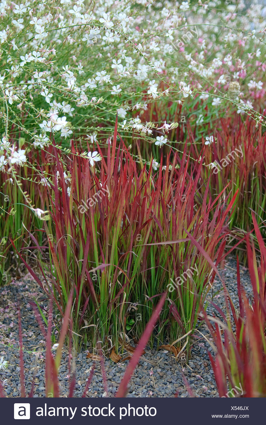 woollygrass, Japanese Blood Gras (Imperata cylindrica 'Red Baron', Imperata cylindrica Red Baron), cultivar Red Baron, together with Gaura lindheimeri - Stock Image