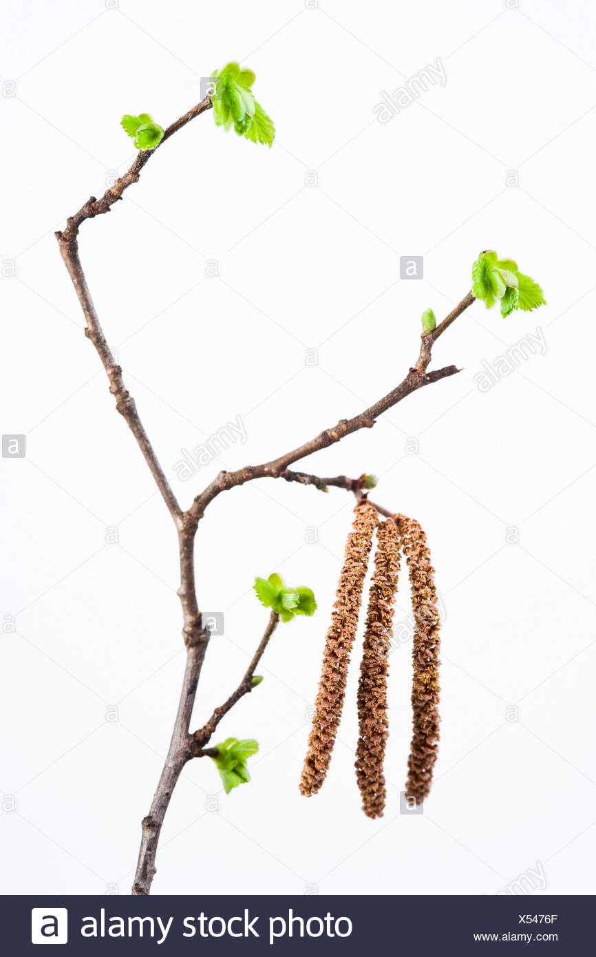 Common Hazel blossom (Corylus avellana) on a twig in spring - Stock Image