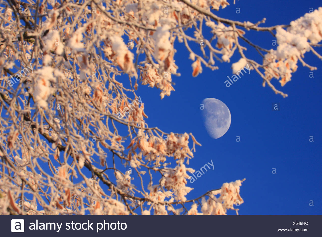 forest winter moonshine moon Switzerland Europe nature trees tree snow blue sky branches hoarfrost cold Stock Photo