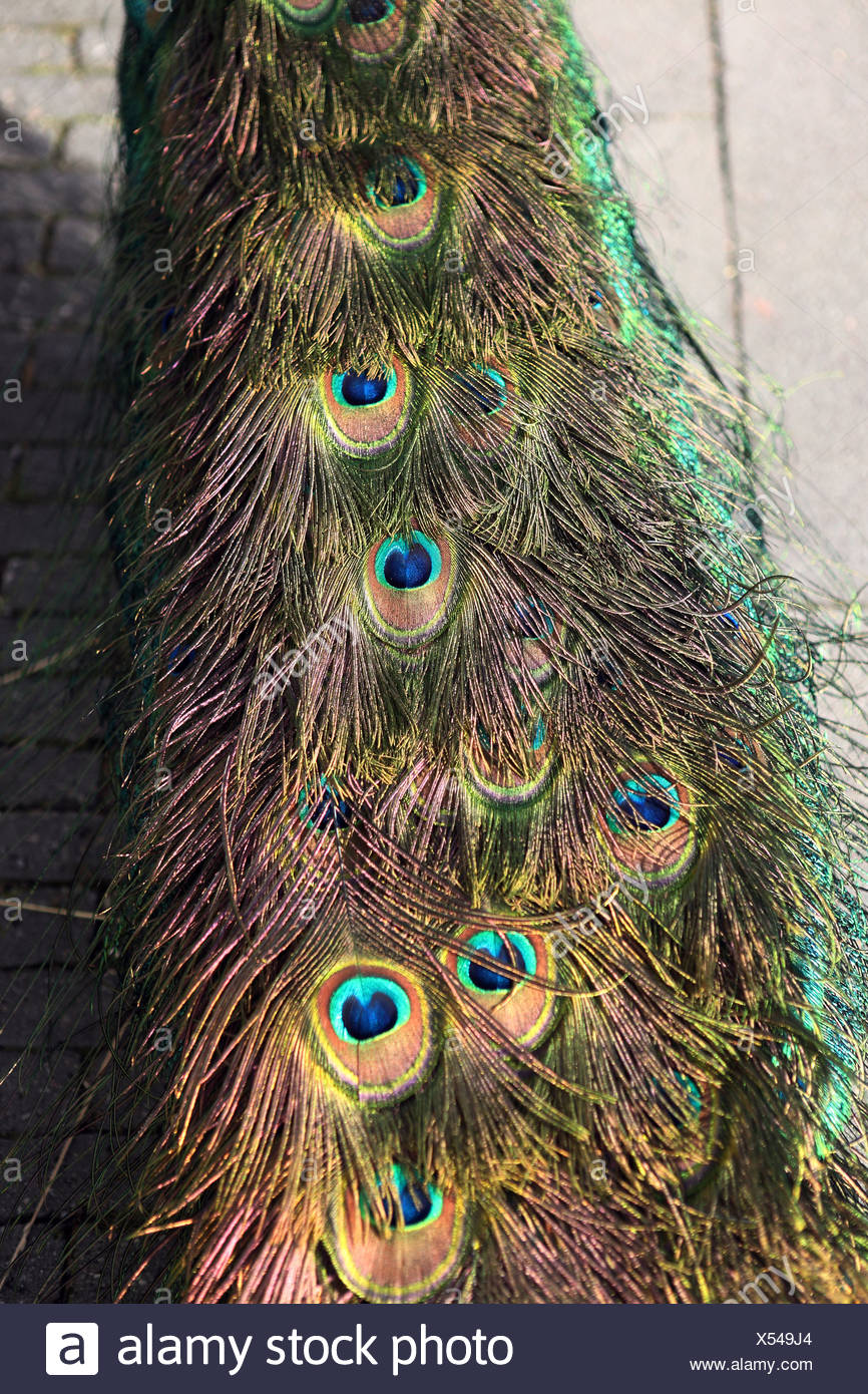 Werl, Germany, train of a masculine peacock - Stock Image