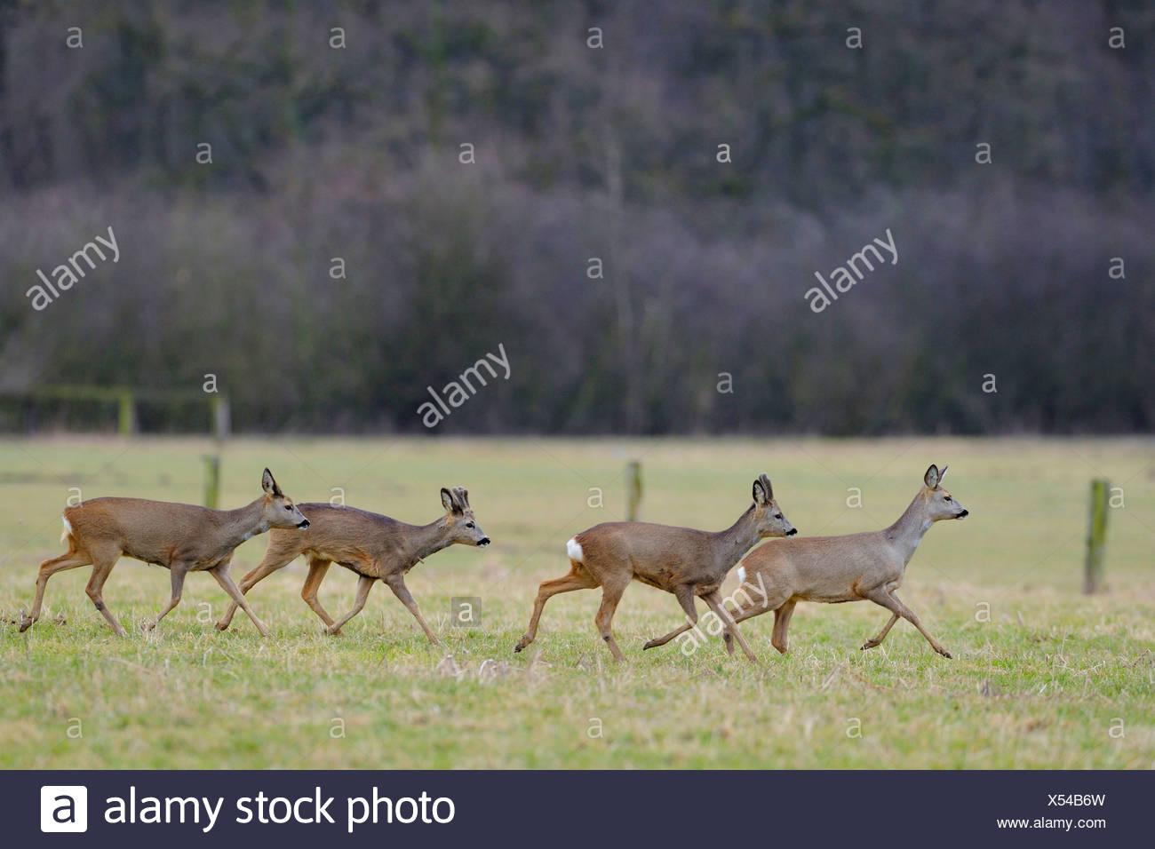 roe deer (Capreolus capreolus), pack crossing a meadow, Germany - Stock Image