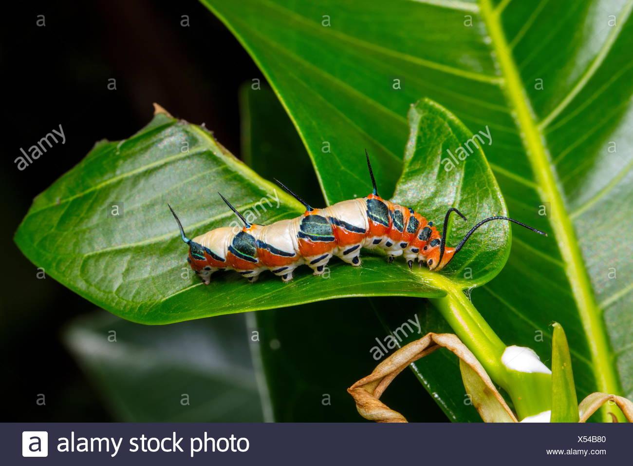 A ruddy daggerwing, Marpesia petreus, caterpillar feeding on its stangler fig host plant. - Stock Image