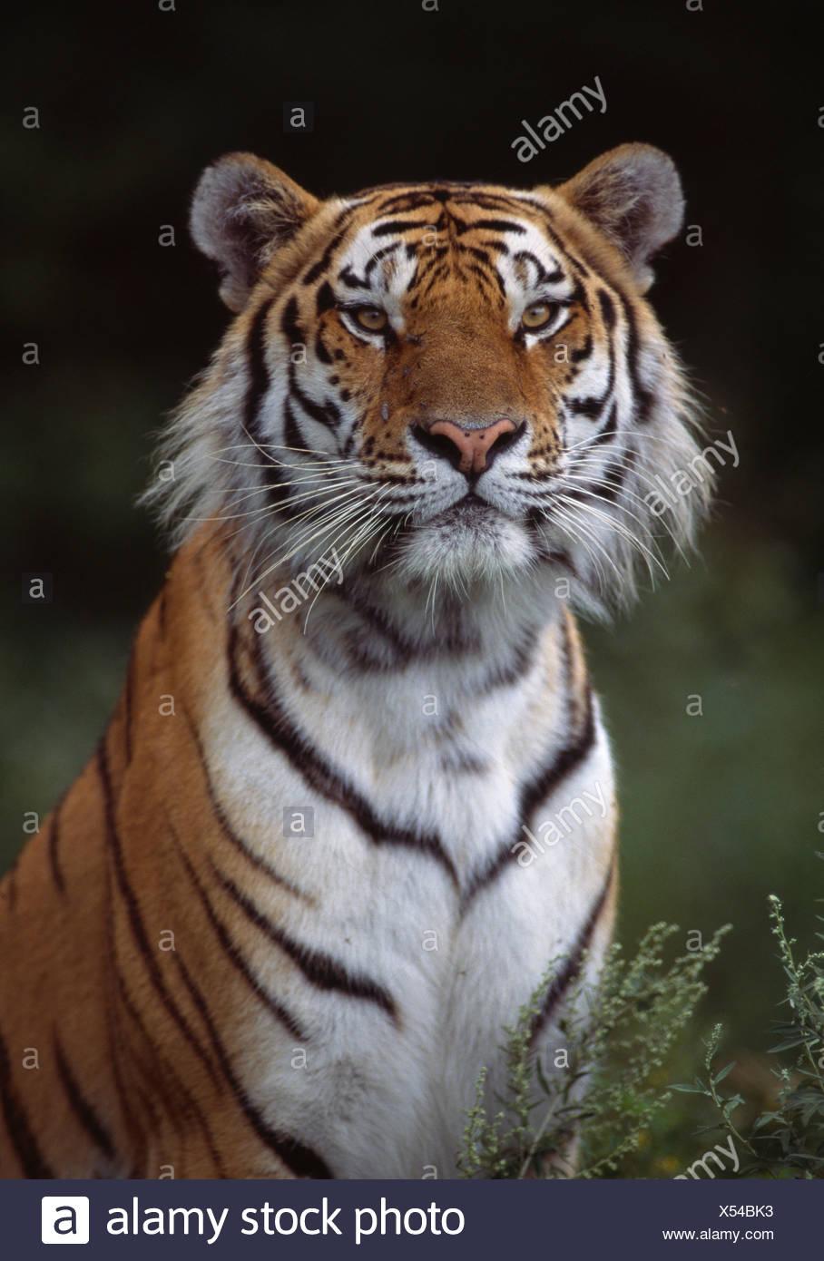 SIBERIAN TIGER adult Stock Photo