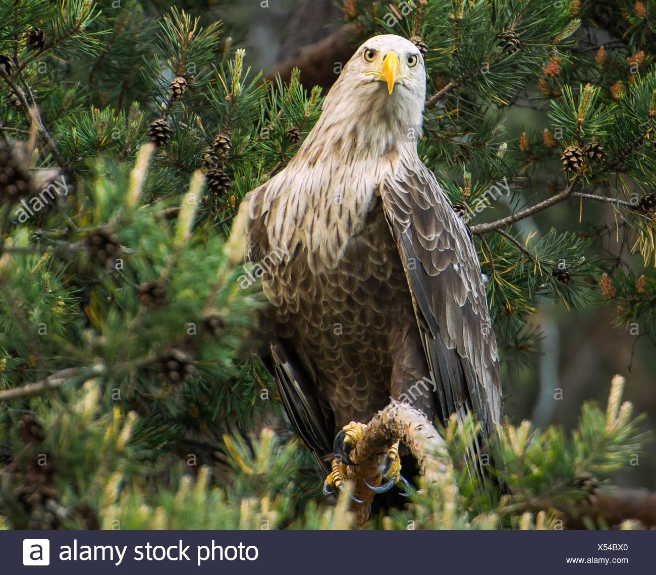 Bird of prey - Stock Image
