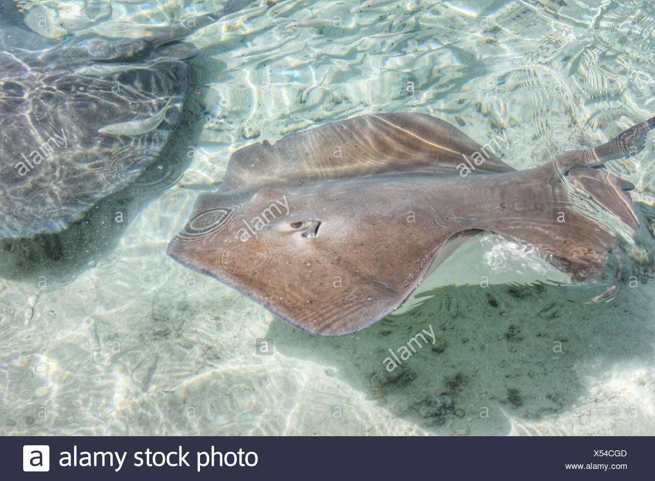High Angle View Of Stingrays Swimming In Sea - Stock Image