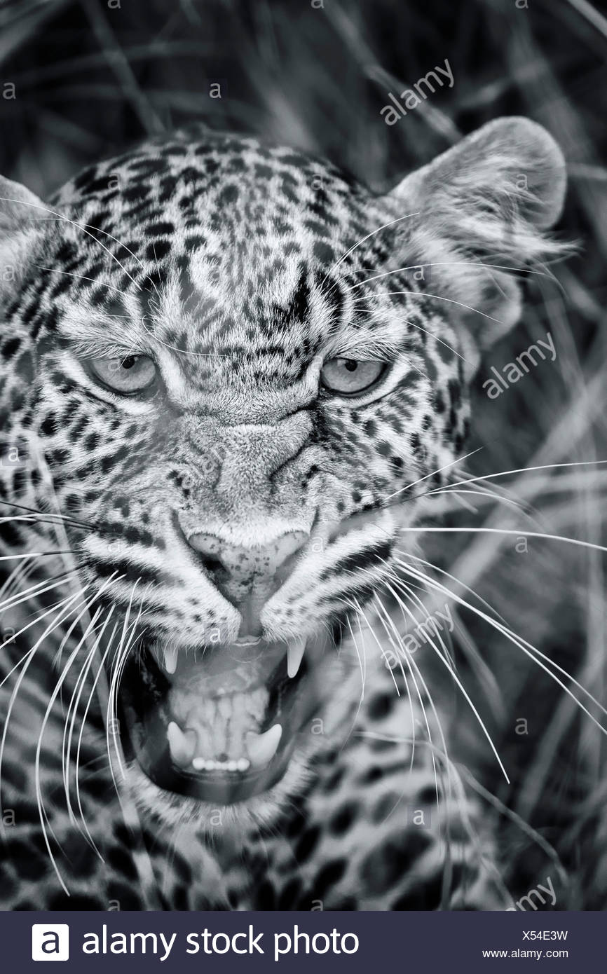 Snarling leopard:  monochrome detail of face in long grass, frontal  view, Maasai Mara, Kenya - Stock Image