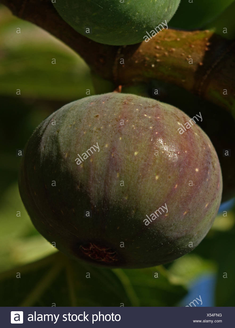 Fruit of the fig tree - Stock Image