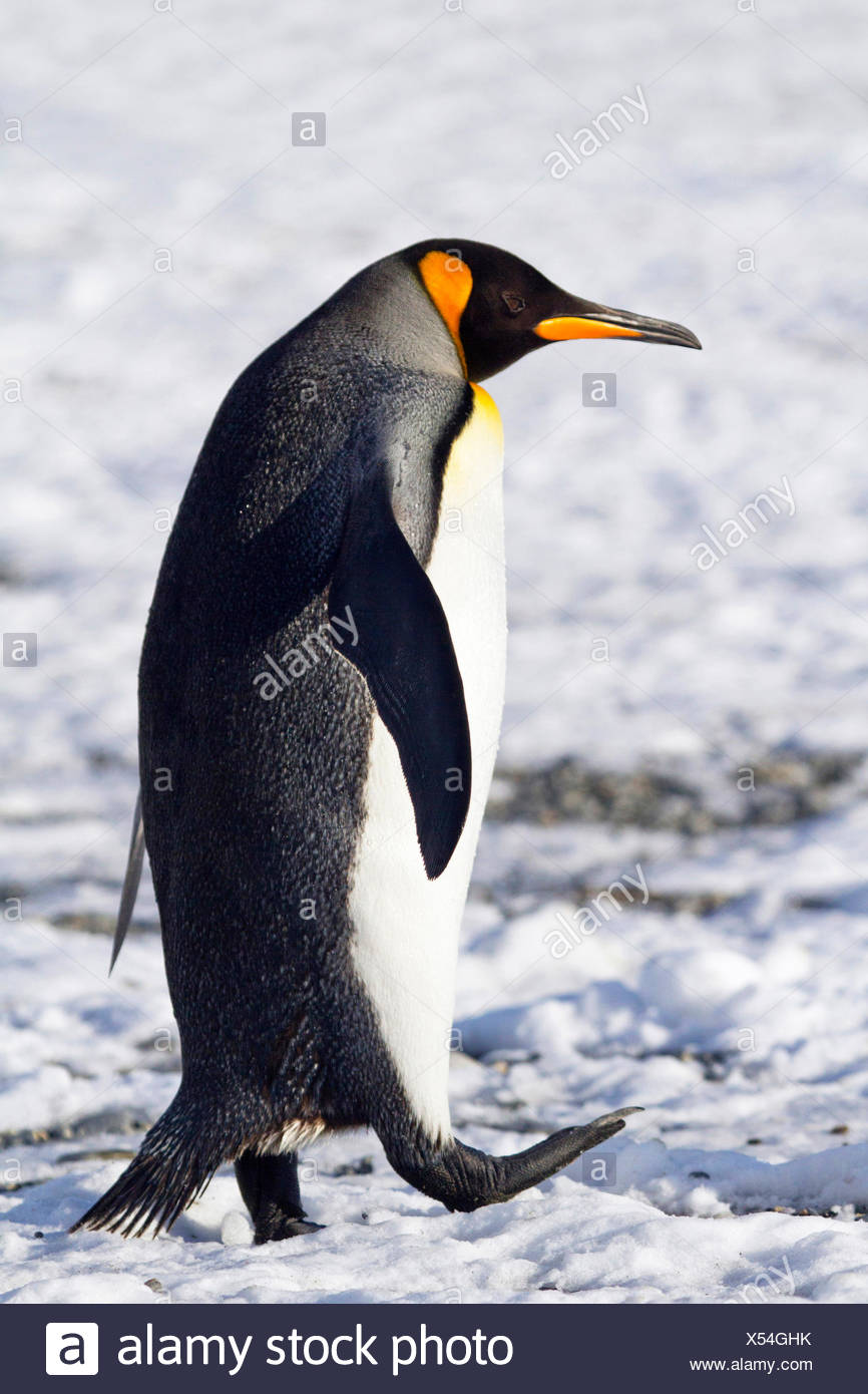 king penguin (Aptenodytes patagonicus), walking through the snow, Antarctica, Suedgeorgien - Stock Image