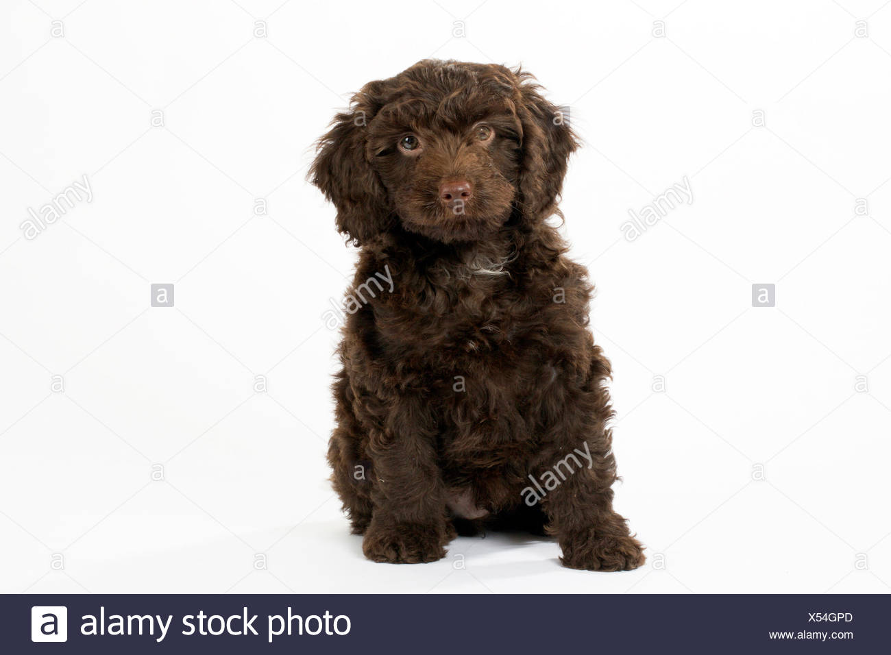 PUPPY DOG SPROODLE Stock Photo