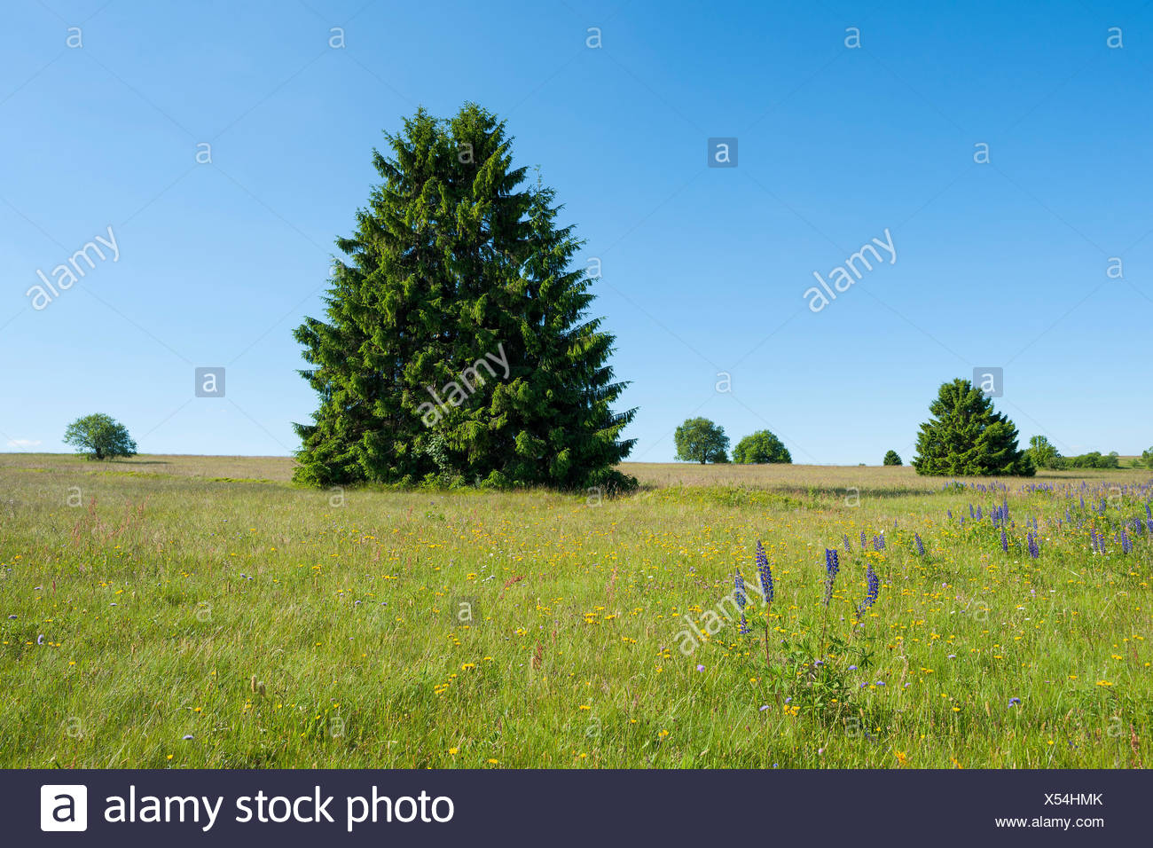 Norway spruces (Picea abies) in a meadow,Lange Rhön Nature Reserve,Rhön Biosphere Reserve,Bavaria,Germany - Stock Image