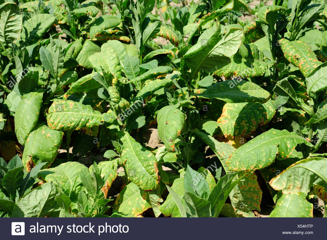 Tobacco leaves, tobacco plants (Nicotiana), tobacco plantation,  province, Cuba, Greater Antilles, Caribbean, Central America - Stock Image