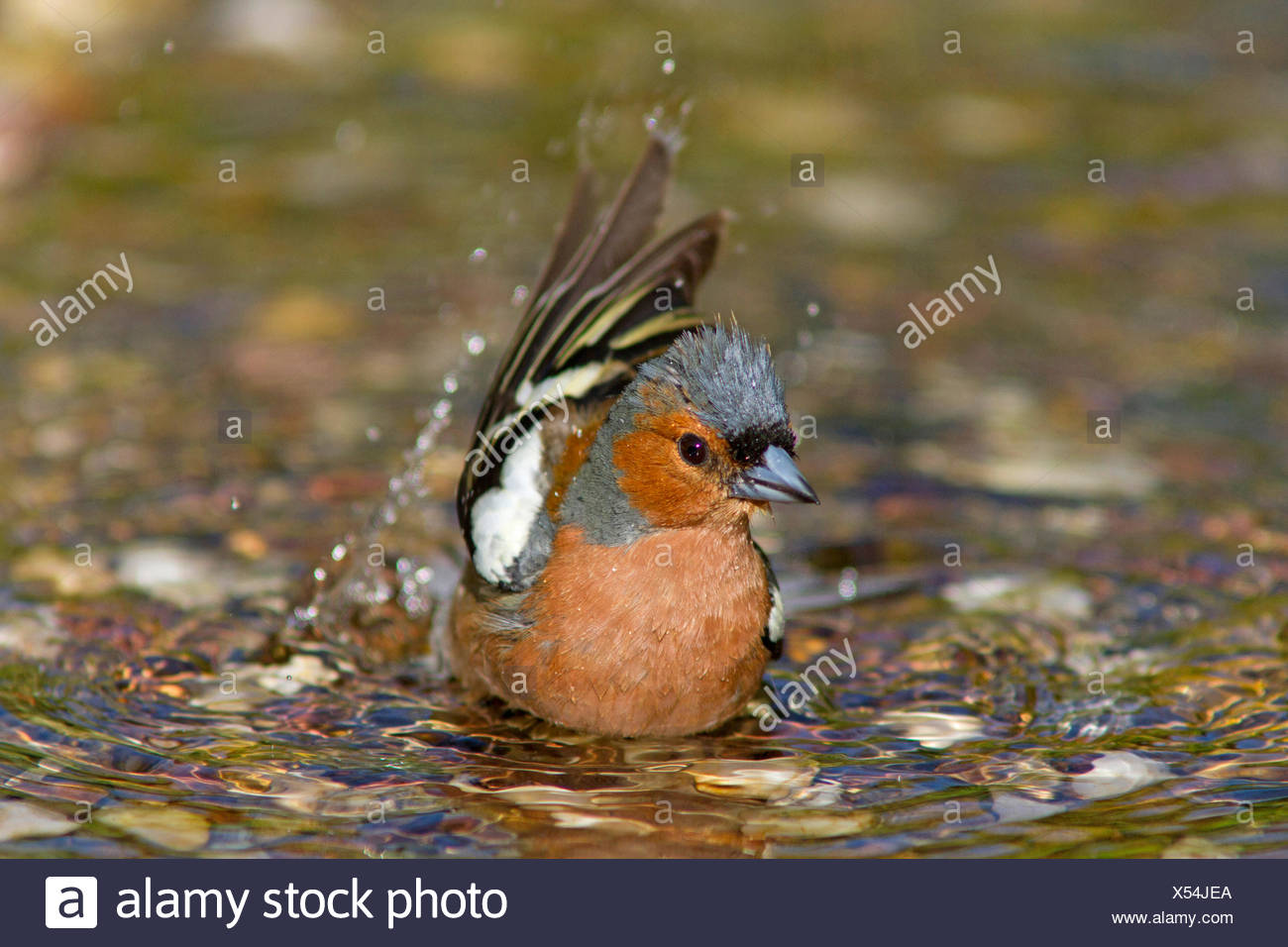 chaffinch (Fringilla coelebs), male bathing in shallow water, Germany, Mecklenburg-Western Pomerania - Stock Image