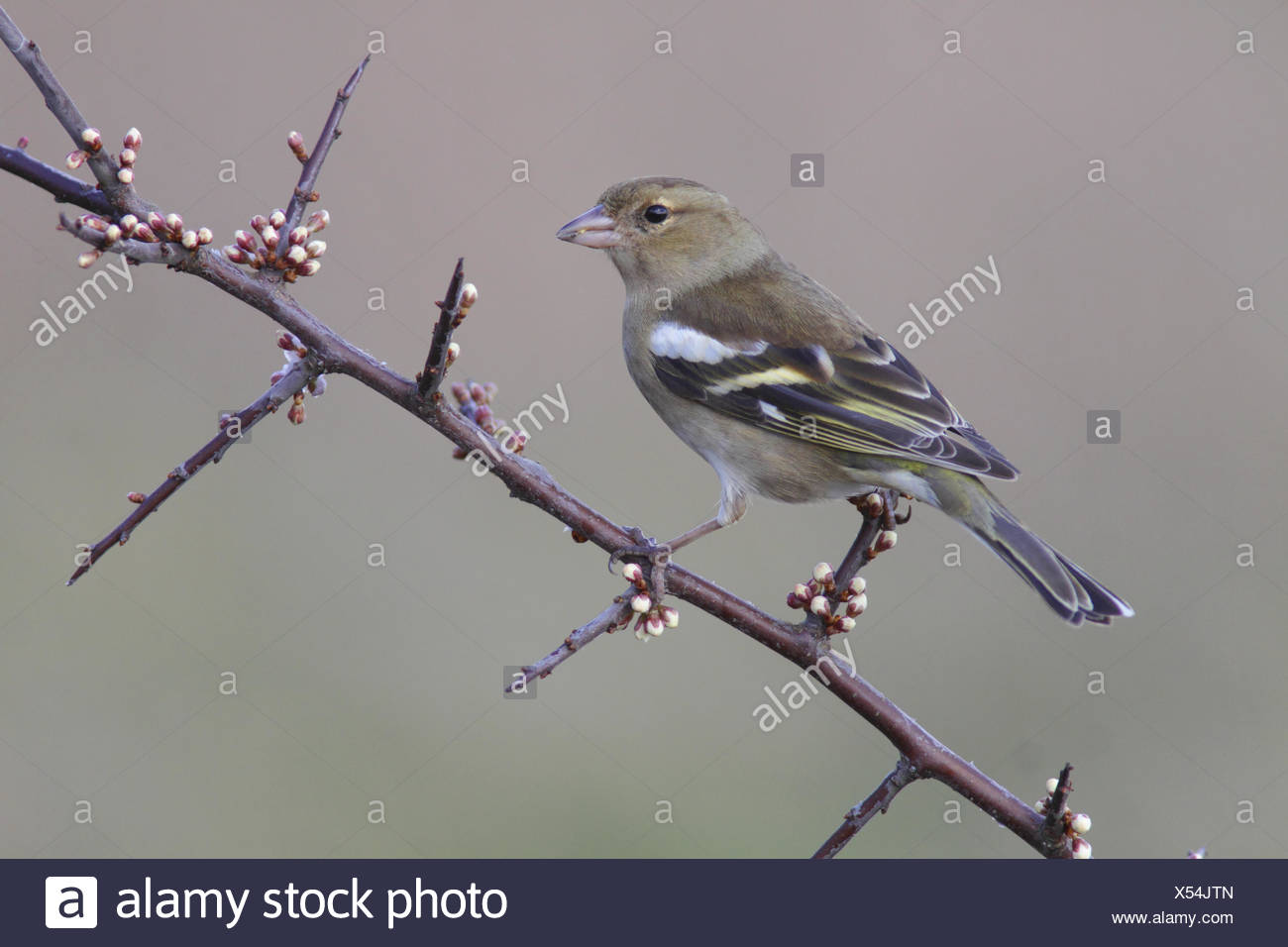 Common Chaffinch (Fringilla coelebs) adult female, perched on Blackthorn (Prunus spinosa) twig with flowerbuds, West Yorkshire, - Stock Image