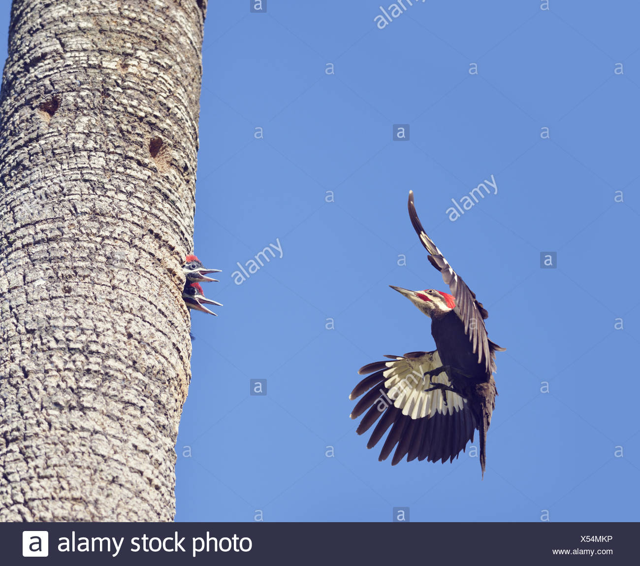 Pileated Woodpeckers Family - Stock Image