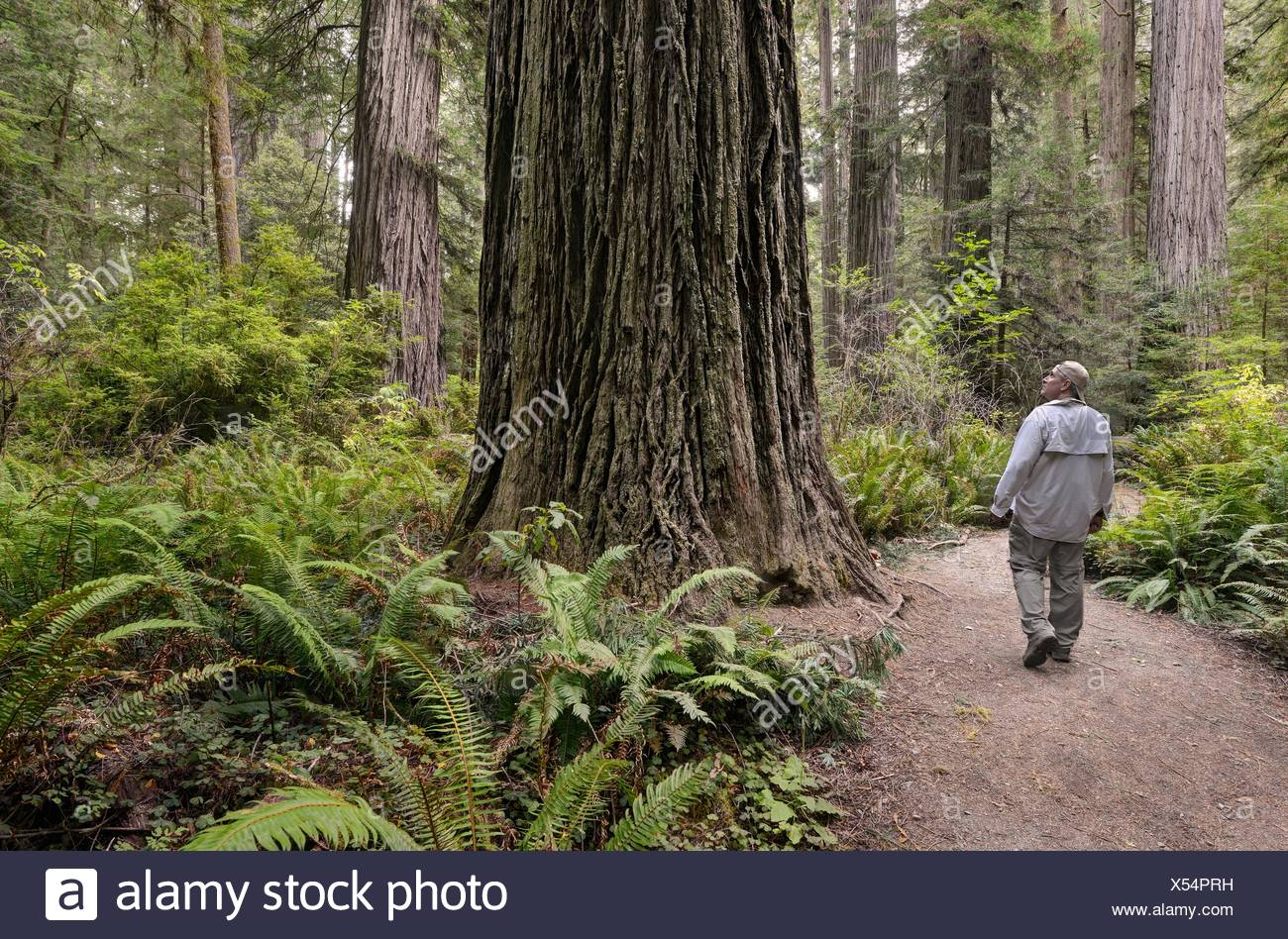 USA, California, Redwood National Park, Hiker on Templeman Grove Trail - Stock Image