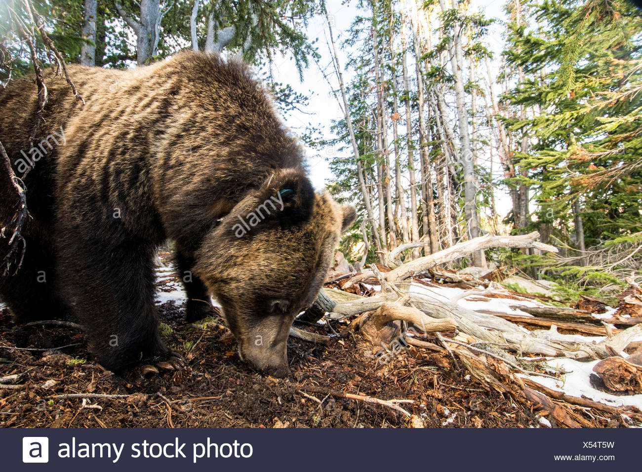A remote camera captures a grizzly bear in Wyoming's Beartooth Pass. - Stock Image