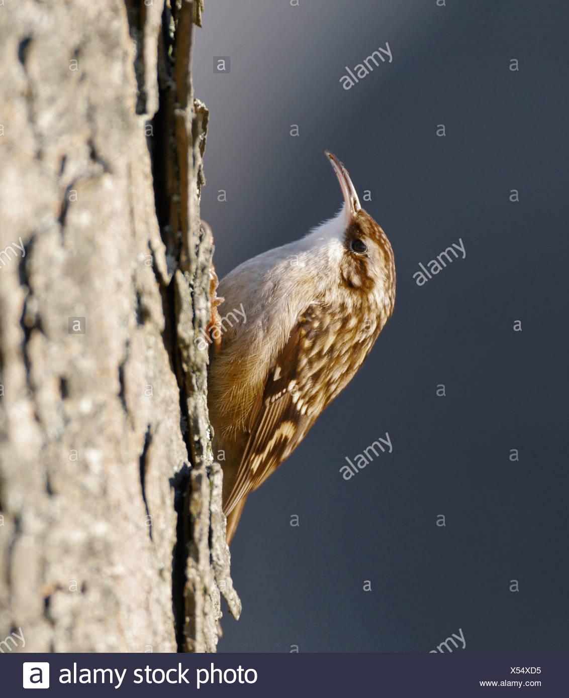 Boomkruiper; Short-toed Treecreeper; Certhia brachydactyla; - Stock Image