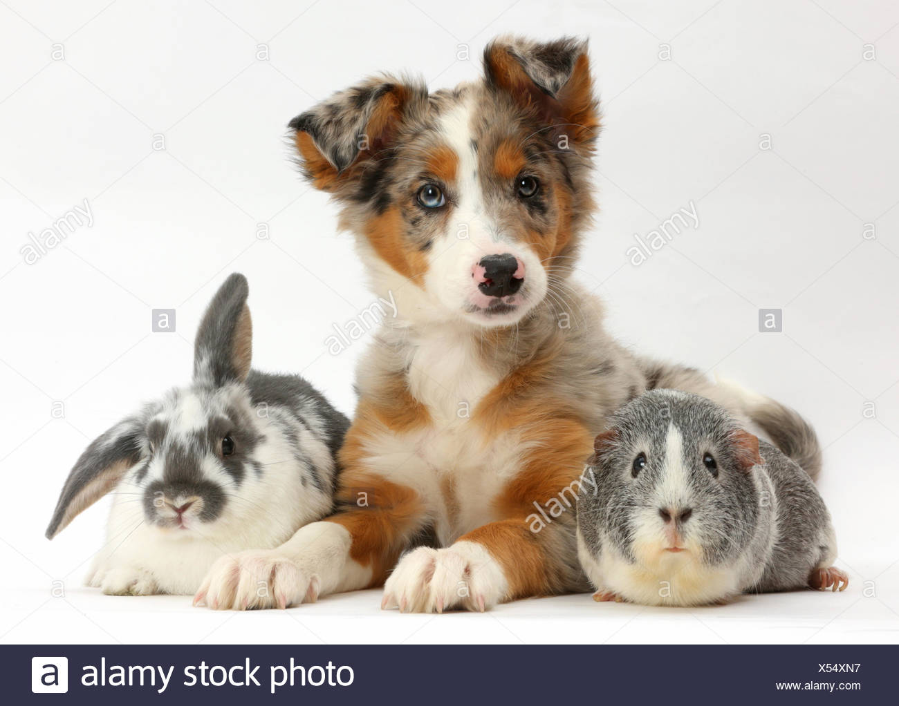 Tricolour merle Collie puppy, Indie, age 10 weeks, with Guinea pig and Rabbit. Stock Photo