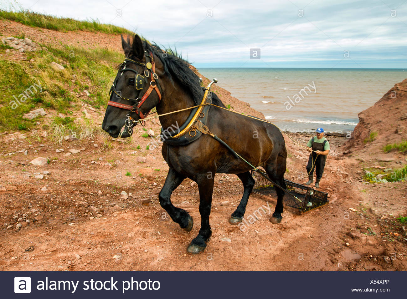 Irish Moss fisherman and Horse, North Cape, Prince Edward Island, Canada - Stock Image
