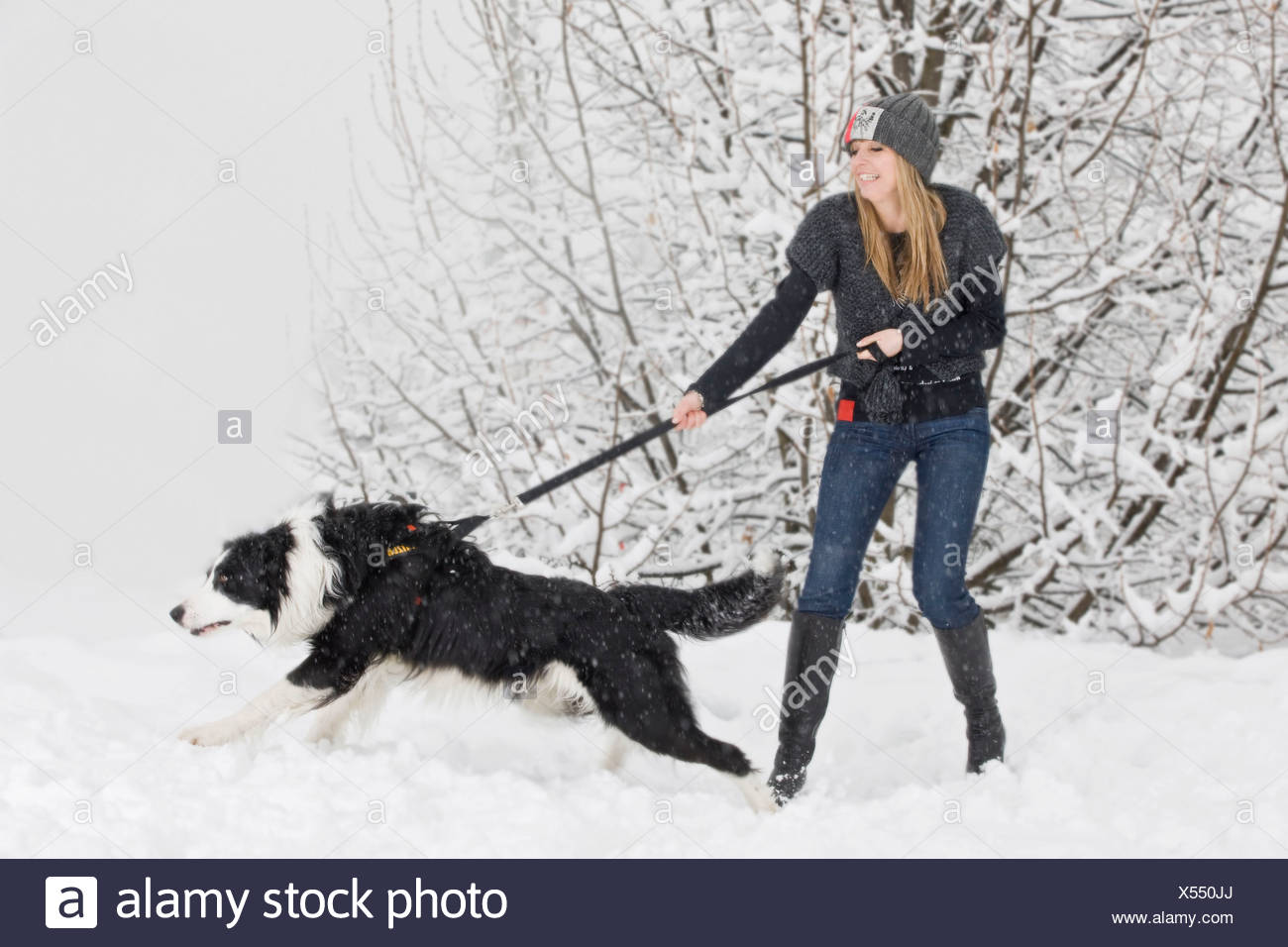 Young woman is pulled by a Border Collie in the snow, North Tyrol, Austria - Stock Image