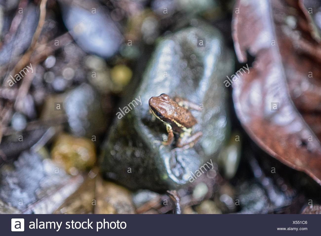 High angle view of frog resting on a rock. - Stock Image