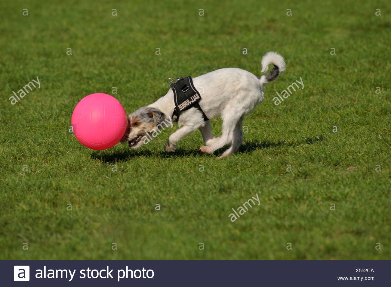 Terrier pushing his pink ball Stock Photo