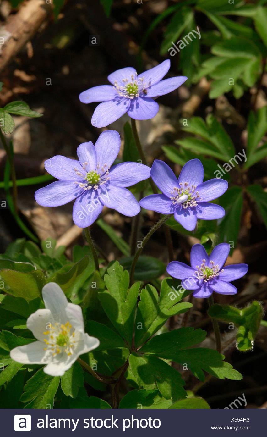 Leberbluemchen und Buschwindroeschen Stock Photo