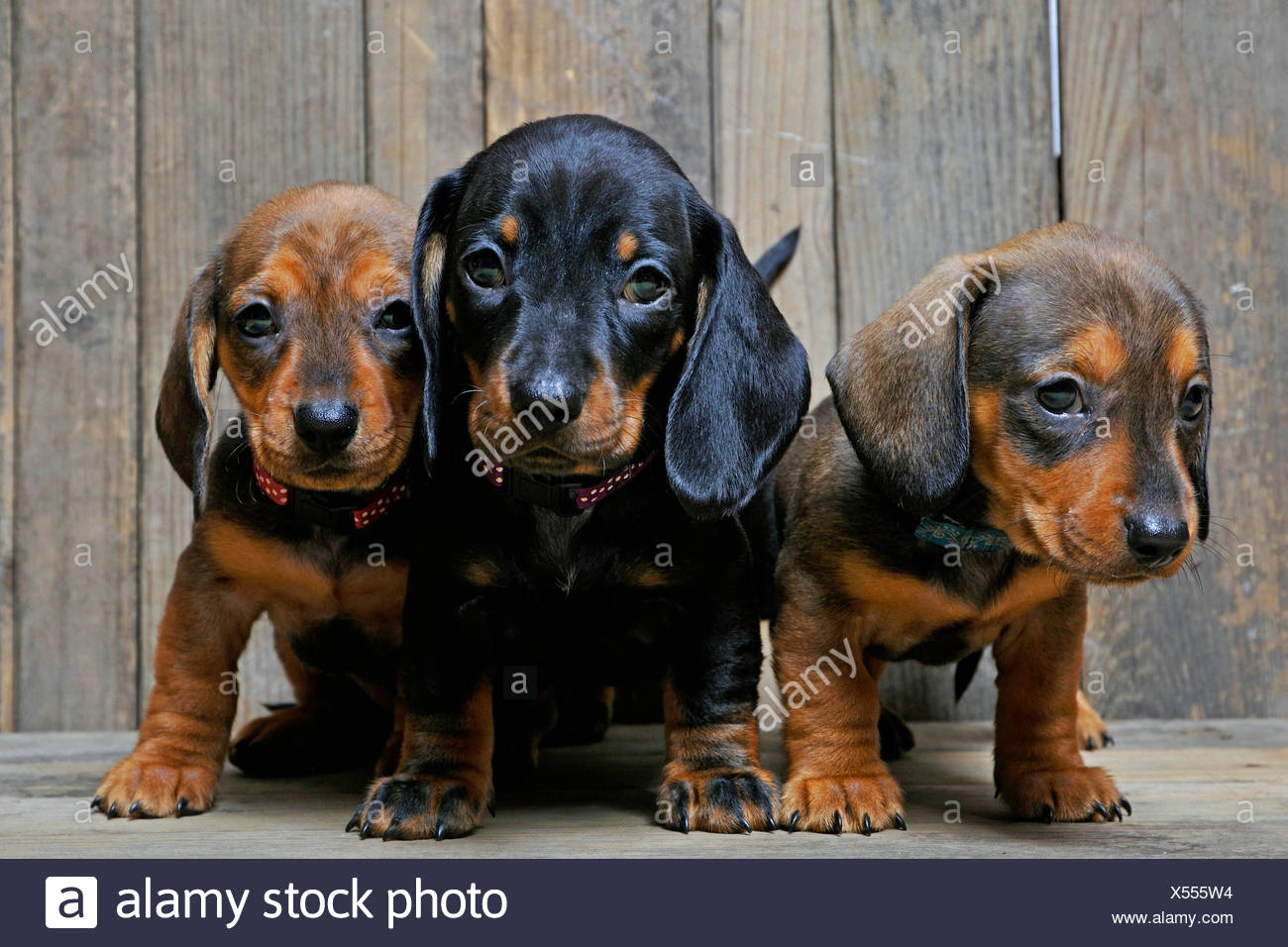 Short Haired Dachshund Short Haired Sausage Dog Domestic Dog Canis Lupus F Familiaris Three Cute Dachshund Puppies Standing And Sitting Side By Side On Wooden Boards Stock Photo Alamy