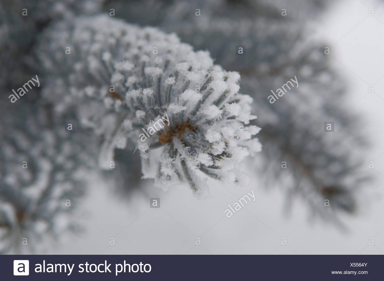 Germany, Swabian Alps, View of pine tree branch in frosty winter - Stock Image