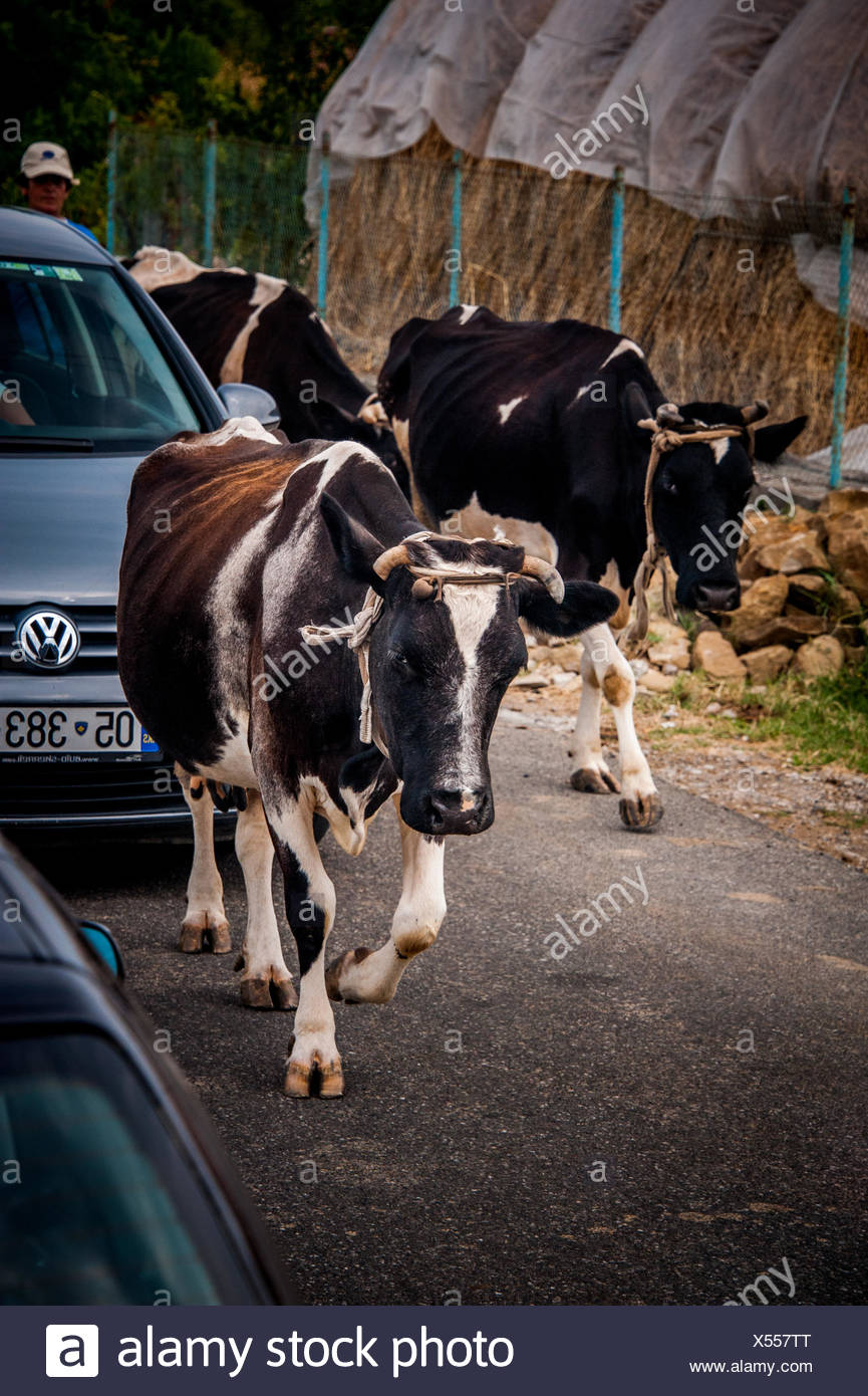 A driver waits patiently as cows share the streets in Albania. - Stock Image