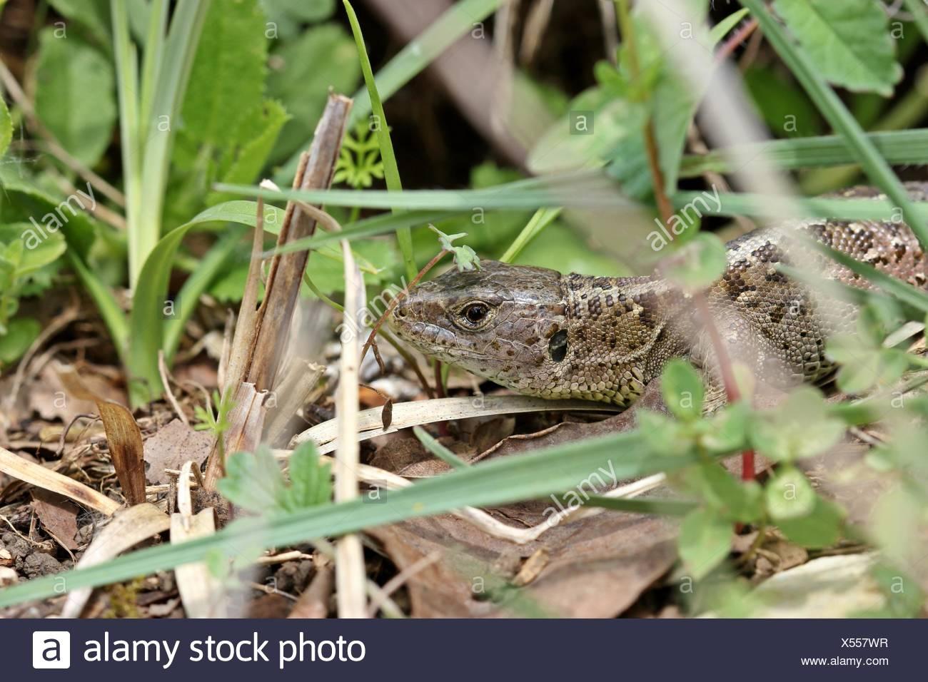 female sand lizard (lacerta agilis) - Stock Image