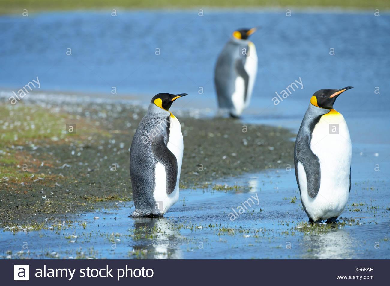 Three King penguins (Aptenodytes patagonicus) standing in water, Volunteer Point, East Falkland, Falkland Islands - Stock Image