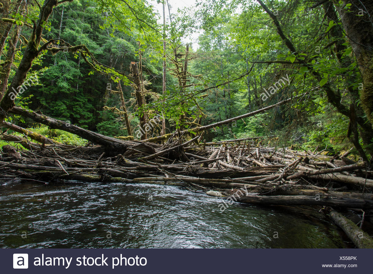 Log jam on Copper River, Moresby Island, Haida Gwaii, formerly known as Queen Charlotte Islands, British Columbia, Canada - Stock Image
