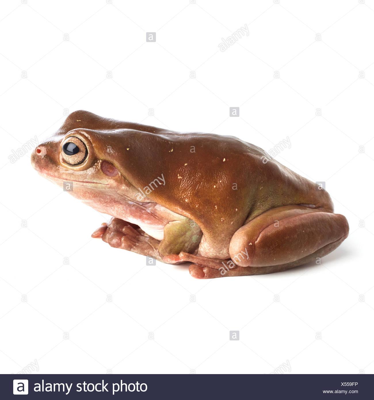 White's tree frog - Stock Image