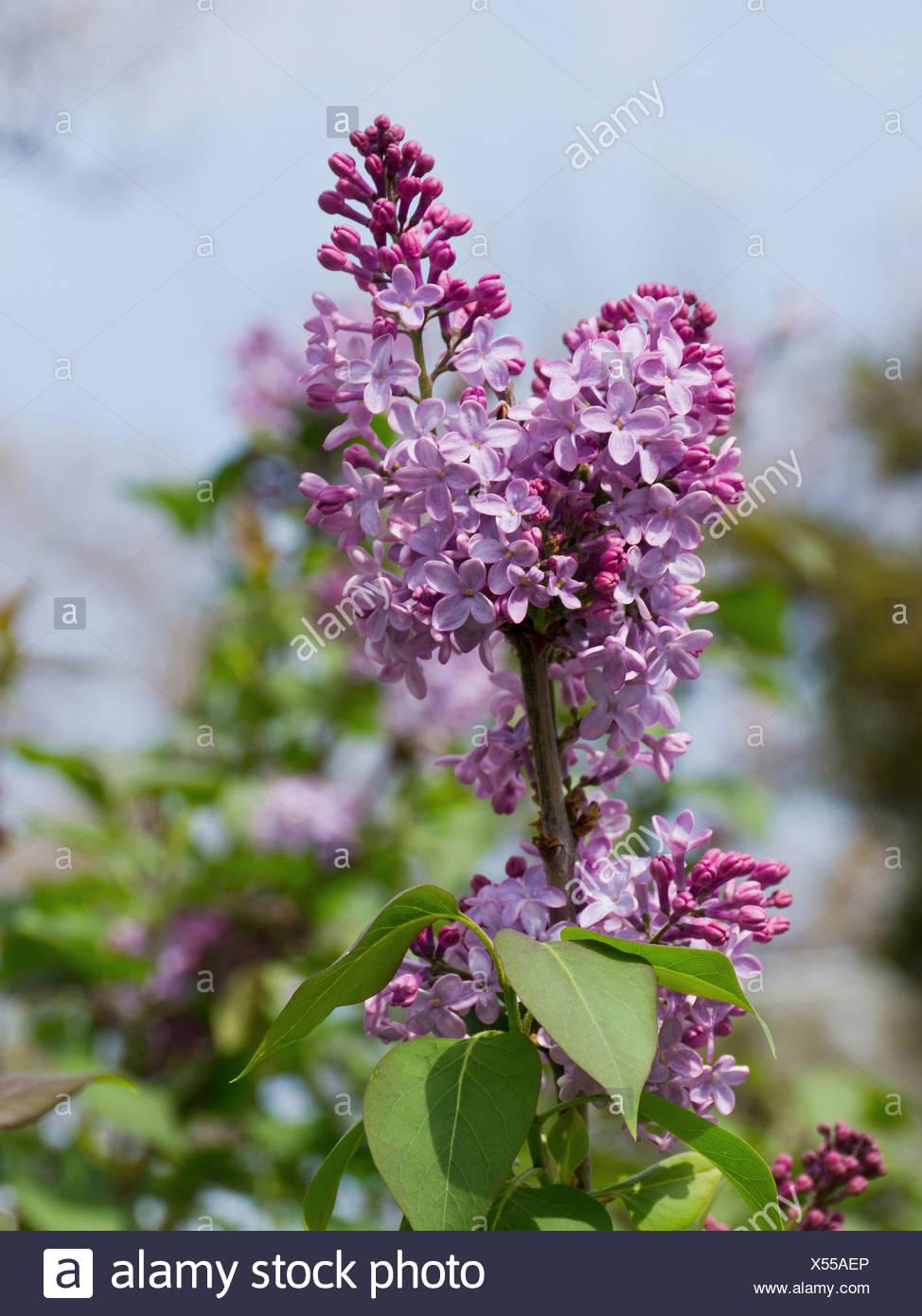 USA, Washington DC, Close up of lilac flowers - Stock Image
