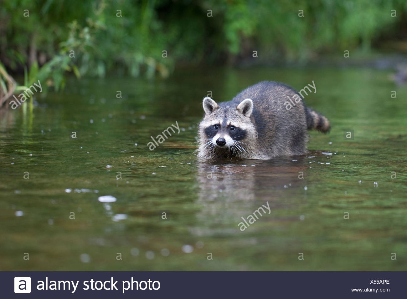 common raccoon (Procyon lotor), 4 months old male walking in the creek, Germany - Stock Image