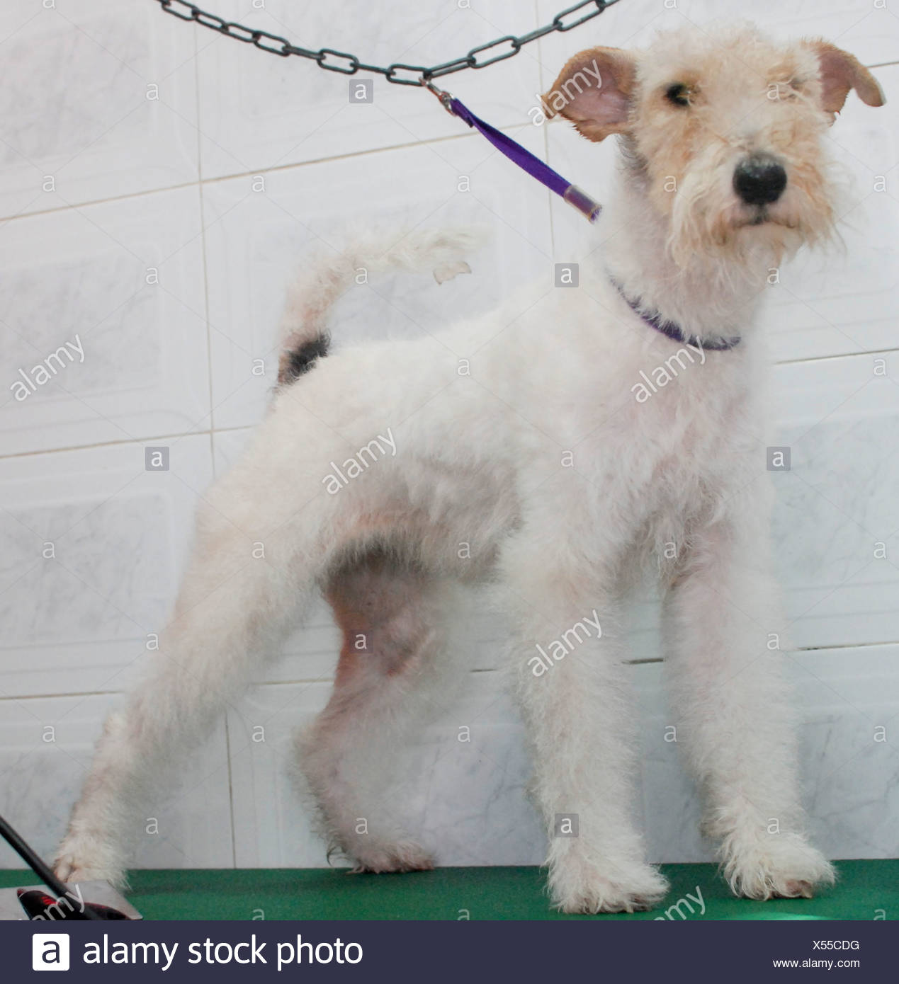 Contemporary How Long Do Wire Haired Fox Terriers Live Elaboration ...