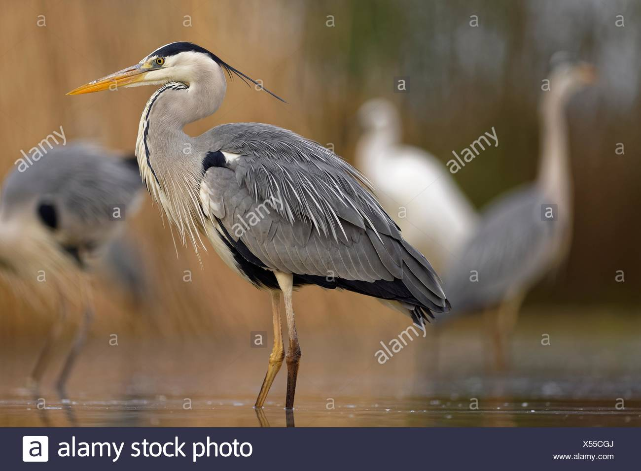 Grey heron (Ardea cinerea), stands in the water, National Park Kiskunsag, Hungary - Stock Image